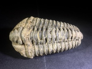 Flexicalymene Trilobite, from Morocco (No.120)