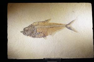 Diplomystus Fossil Fish, from Green River Formation, Wyoming, USA (No.176)