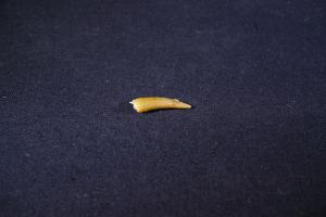 Pterosaur Tooth, from Kem Kem Formation, South East Morocco (No.261)