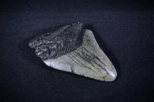 C. Megalodon Shark Tooth, from South Carolina, U.S.A. (No.5)