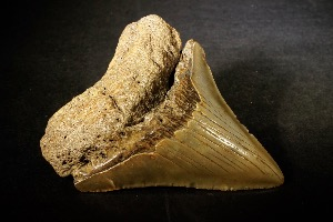 Carcharodon Megalodon Shark Tooth, from South Carolina, USA (No.68)