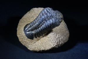 Drotops Trilobite, from Morocco (No.79)