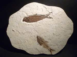 Knightia & Diplomystus Fossil Fish, from Wyoming U.S.A. (No.34)
