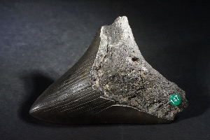 Carcharodon Megalodon Shark Tooth, from South Carolina, U.S.A. (No.147)