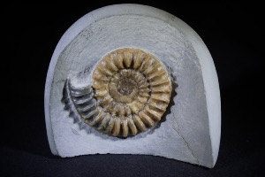 Arnioceras Ammonite, from Monmouth Beach, Lyme Regis, England (No.39)