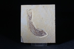 Knightia Fossil Fish, from Green River Formation, Wyoming USA (No.46)