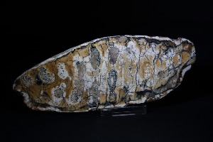 Mammoth Tooth Slice (Polished One Side), from North Sea Area, Ice Age (No.882)