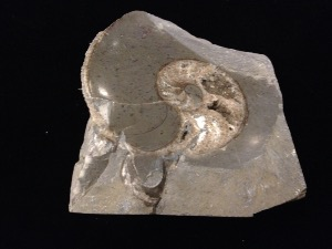 Jurassic Coast beach pebble Ammonite (no.123)