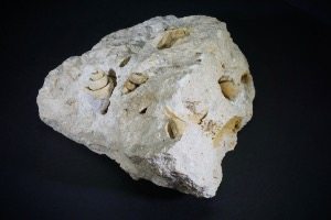 Gastropods On Matrix, from Verona, Italy (No.108)