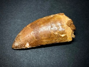 Carcharodontosaurus Tooth, from Morocco (No.3)
