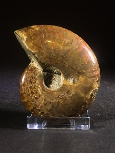 Cleoniceras Ammonite (with red 'fire' iridescents) from Madagascar (No.29)