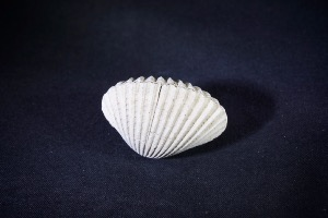 Bivalve from Java, Indonesia (No.253)