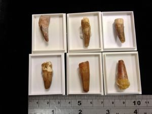 Dinosaur - Spinosaur Tooth (in box (20)
