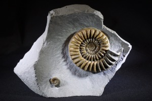 Arnioceras Ammonite, from Monmouth Beach, Lyme Regis, UK (No.23)