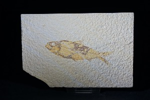 Knightia Fossil Fish, from Green River Formation, Wyoming USA (No.5)