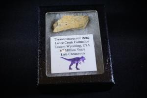 Tyrannosaurus Rex Bone Fragment, from Lance Creek Formation, Eastern Wyoming, U.S.A. (No.7)