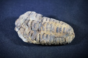 Flexicalymene Trilobite, from Morocco (No.728)