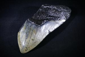 C. Megalodon Shark Tooth, from South Carolina, U.S.A. (No.111)