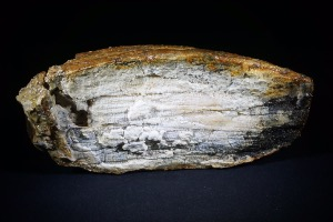 Mammoth Tooth Fragment from North Sea Area, Ice Age (No.122)