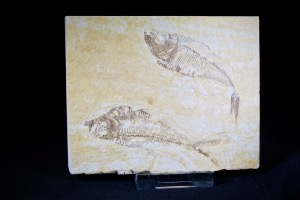 Diplomystus Fossil Fish Pair, from Green River Formation, Wyoming, U.S.A. (No.160)