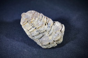Flexicalymene Trilobite, from Morocco (No.727)