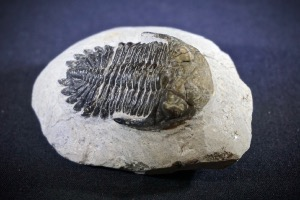 Metacanthina Trilobite, from Morocco (No.96)