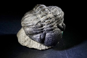 Drotops Trilobite, from Morocco (No.111)
