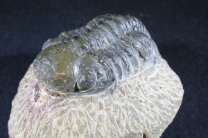 Reedops maurulas Trilobite, from Mount Atchana, Morocco (No.140)
