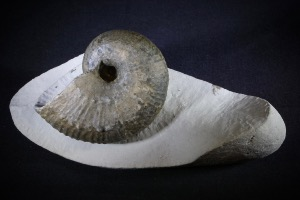 Liparoceras Ammonite, from Dorset, England (No.24)