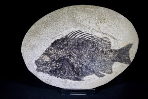 Priscacara Fossil Fish, from Green River Formation, Wyoming, U.S.A. (No.621)