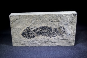 Osteolepis macrolepidotus Fossil Fish, from Orkney, Scotland (No.776)