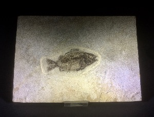 Priscacara Fossil Fish, from Green River Formation, Wyoming U.S.A. (No.
