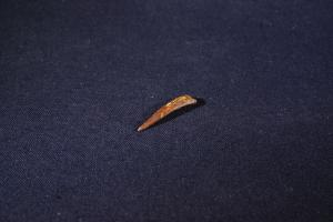 Pterosaur Tooth, from Kem Kem Formation, South East Morocco (No.262)