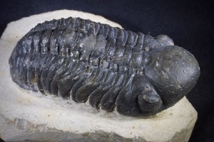 Reedops Trilobite from Morocco (No.429)