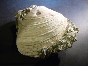 Cordiopsis Gigas Clam, from Italy (No.103)
