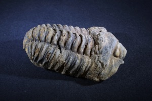 Flexicalymene Trilobite, from Morocco (No.136)