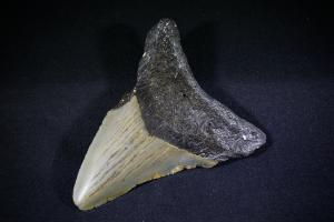 C. Megalodon Shark Tooth, from South Carolina, U.S.A. (No.230)