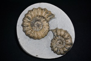 Oistoceras (Also Know As Androgynoceras) Ammonite, from Stonebarrow, Dorset, England (No.26)