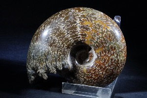 Lytoceras Ammonite, Polished, from Madagascar (No.3)