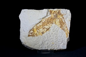 Knightia Fossil Fish, from Green River Formation, Wyoming USA (No.45)