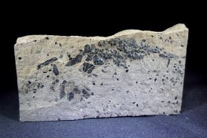 Osteolepis macrolepidotus Fossil Fish, from Orkney, Scotland (No.775)