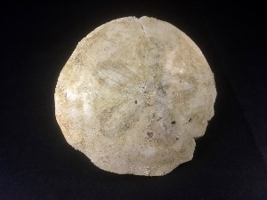 Scutella Sand Dollar, Sea Urchin, from France (No.89)