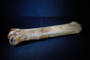 Woolly Rhino Bone, from North Sea Area, Ice Age (No.89)
