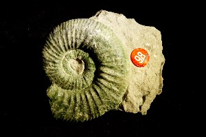 Orthosphinctes Ammonite, from Germany (No.98)
