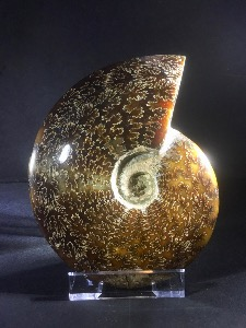 Cleoniceras Ammonite, from Madagascar (No.27)
