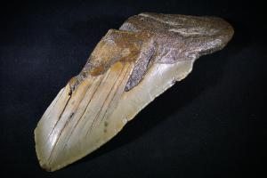 C. Megalodon Shark Tooth, from South Carolina, U.S.A. (No.3)