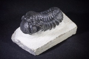 Phacops S.P Trilobite from Morocco (No.473)