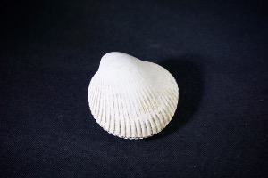Bivalve from Java, Indonesia (No.252)