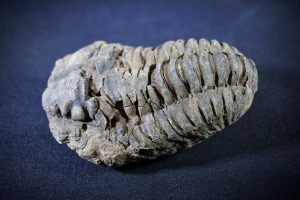 Flexicalymene Trilobite, from Morocco (No.724)