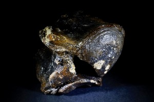 Woolly Rhino Vertebra, from North Sea Area, Ice Age (No.42)